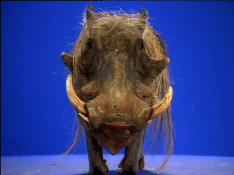 vídeos de stock e filmes b-roll de kneeling warthog chews whilst peering around - porco