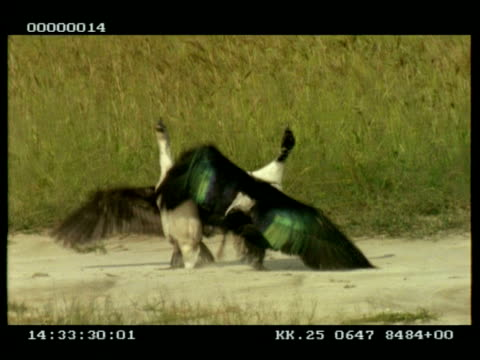 knob-billed ducks x2 males fighting - aggression stock videos & royalty-free footage