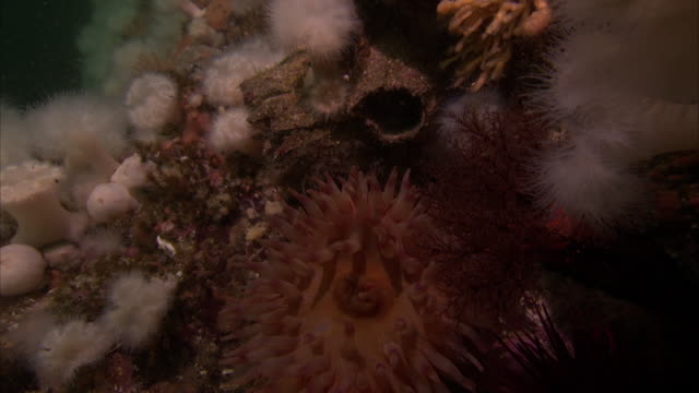 knobby, spiny corals are on the pacific reef. - lymphknoten stock-videos und b-roll-filmmaterial