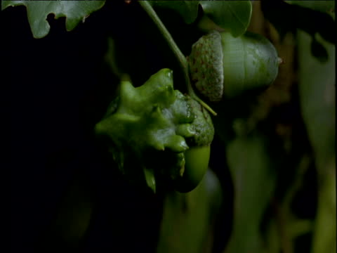knopper gall wasp gall develops on acorn - oak stock videos and b-roll footage