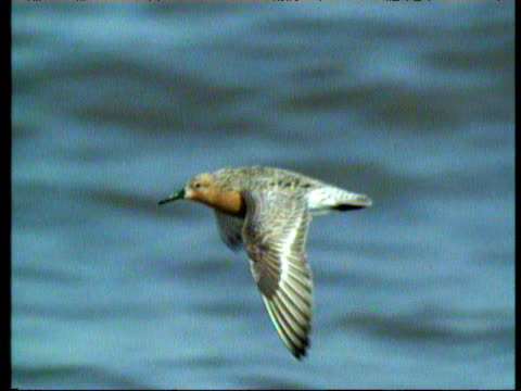 knot bird flies through sky flapping wings against backdrop of blue sea, valdes peninsula - bbc stock videos and b-roll footage