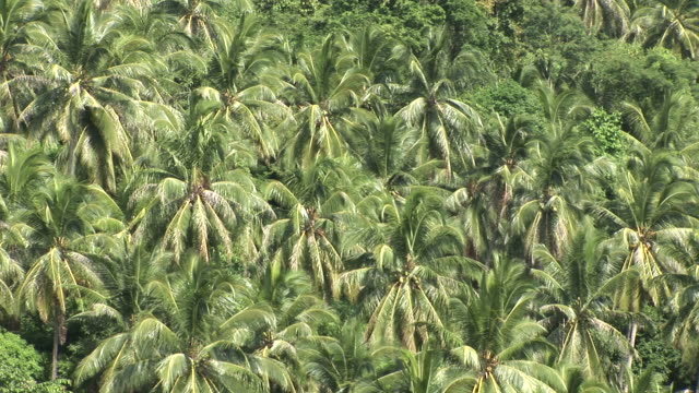 stockvideo's en b-roll-footage met ko samui, thailandview of a tropical forest in ko samui thailand - waaierpalm