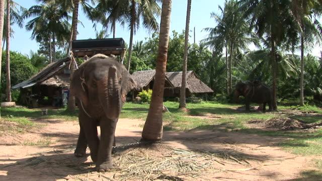 ko samui, thailandview of an elephant in ko samui thailand - fan palm tree stock videos & royalty-free footage