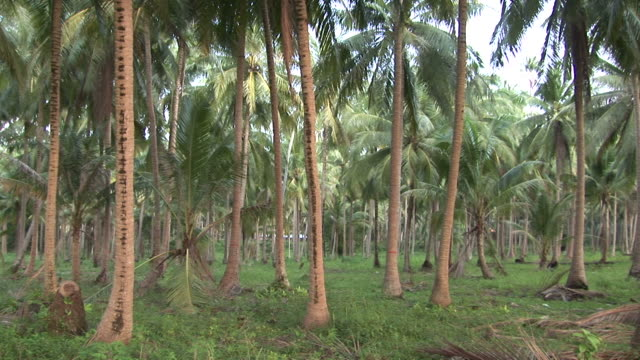 ko samui, thailandview of coconut trees in ko samui thailand - fan palm tree stock videos & royalty-free footage