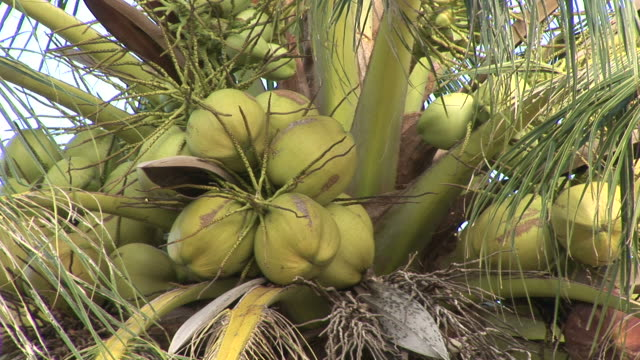 ko samui, thailandview of coconuts in coconut tree at ko samui thailand - ko samui stock videos & royalty-free footage