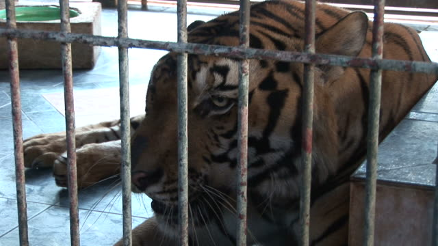 ko samui, thailandview of tiger in cage at ko samui thailand - ko samui stock videos & royalty-free footage