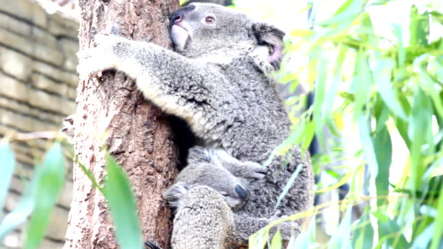 koala and baby on tree - hugging tree stock videos & royalty-free footage