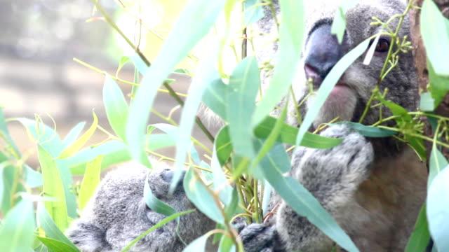 koala und kind auf baum - beuteltier stock-videos und b-roll-filmmaterial