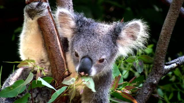 vídeos de stock, filmes e b-roll de coala, austrália, de mascar em folhas de eucalipto. close-up. - marsupial