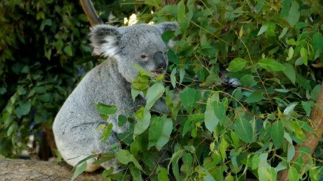 vídeos de stock, filmes e b-roll de coala, austrália-comendo folhas de eucalipto - marsupial