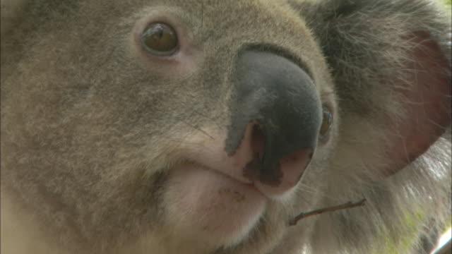 ecu, koala, australia - extreme close up stock videos & royalty-free footage