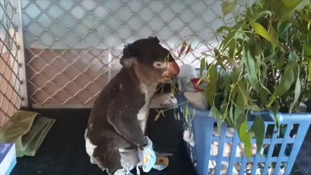 //newswire.storyful.com/storylines/*/stories/227850?search_term=sootie badly burned in november's new south wales mid north coast bushfires has lost... - animal nose stock videos & royalty-free footage