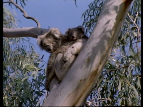 mcu koala bear and baby in tree, australia - hugging tree stock videos & royalty-free footage