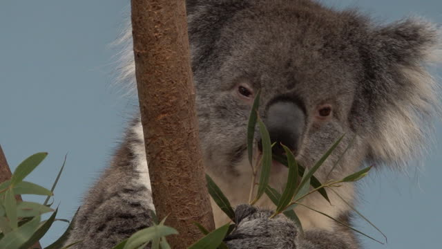 koala bear at longleat safari park, wiltshire - cute stock videos & royalty-free footage