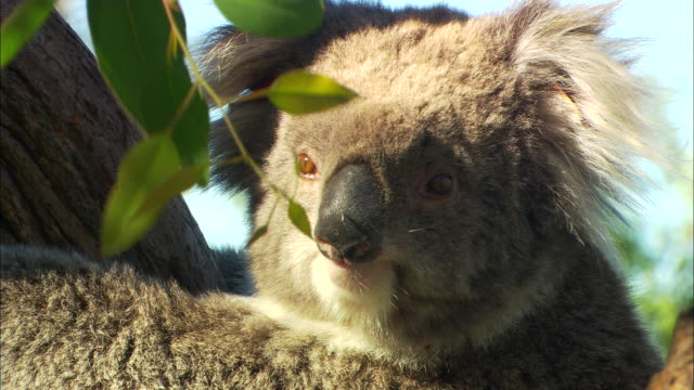 a koala bear clings to a tree. - biology stock videos & royalty-free footage