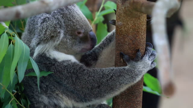 koala bear on tree branch. the koala - branch plant part stock videos and b-roll footage