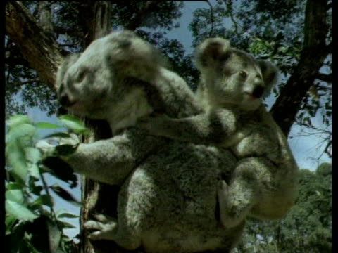 Koala bear sitting in tree eating leaves with koala cub on back. Trees in background