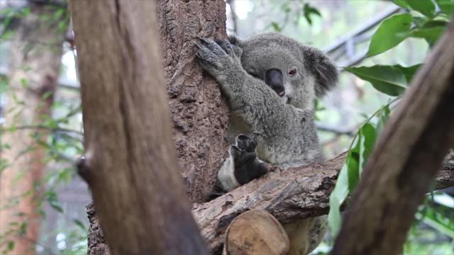 Koala bear.