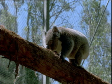 koala clambers along tree trunk in animal sanctuary, queensland - 有袋類点の映像素材/bロール