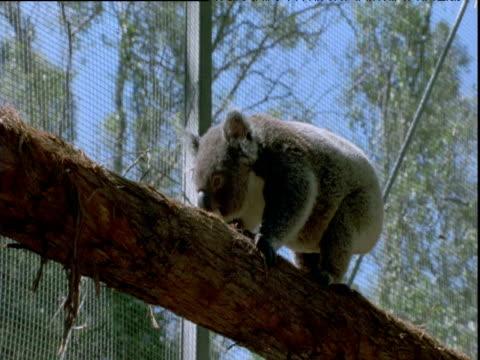 koala clambers along tree trunk in animal sanctuary, queensland - beuteltier stock-videos und b-roll-filmmaterial