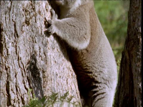 koala clambers down tree trunk and through ferns, australia - 有袋類点の映像素材/bロール