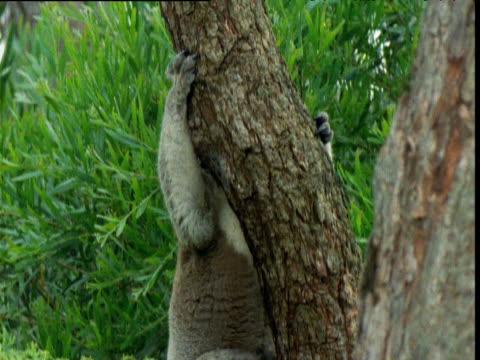 koala clambers up gum tree trunk, raymond island, victoria, australia - よじ登る点の映像素材/bロール