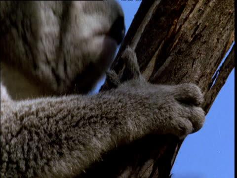 koala clambers up tree trunk, australia - claw stock videos & royalty-free footage