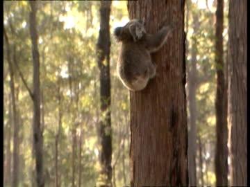 ms koala climbing up tree into sunlight - 有袋類点の映像素材/bロール