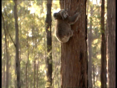 ms koala climbing up tree into sunlight - beuteltier stock-videos und b-roll-filmmaterial