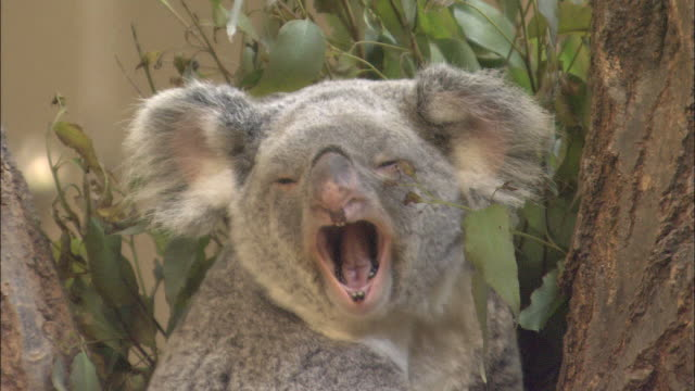 a koala cub naps in its mothers lap. - mouth open stock videos and b-roll footage