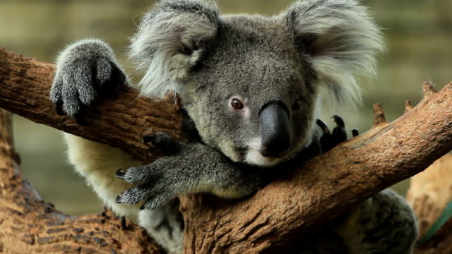 koala nette aktion. - animal hair stock-videos und b-roll-filmmaterial