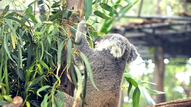 koala eating leave - hugging tree stock videos & royalty-free footage