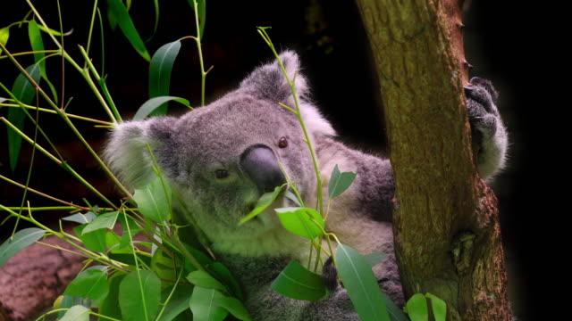 vídeos de stock e filmes b-roll de koala eating. - animal mouth