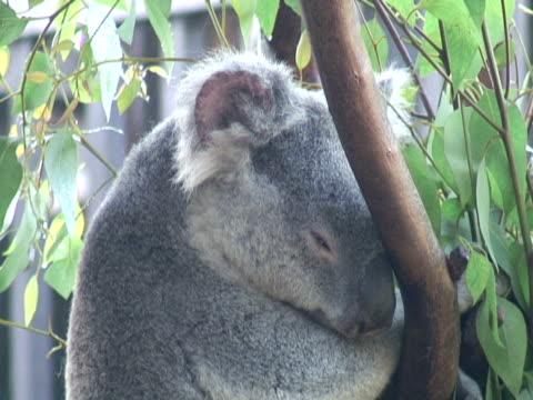 koala gesicht muskelfasern zu trainieren - audio available stock-videos und b-roll-filmmaterial