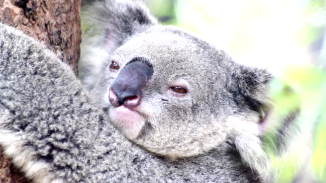 koala face - hugging tree stock videos & royalty-free footage