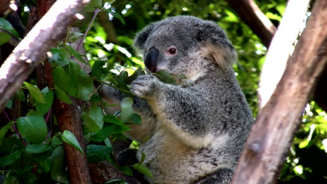 koala feeding on eucalyptus foliage - australia stock videos & royalty-free footage