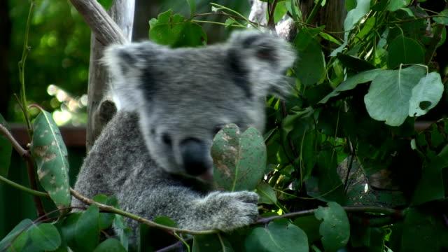 koala feeding on eucalyptus foliage - animal hair stock videos & royalty-free footage