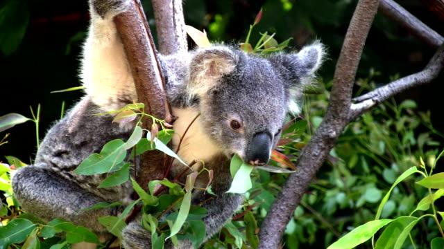 vídeos de stock, filmes e b-roll de coala comendo folhas de eucalipto, austrália - marsupial