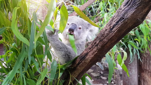 koala feeding on eucalyptus tree - outback stock videos & royalty-free footage
