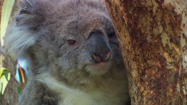 vidéos et rushes de cu, td, koala (phascolarctos cinereus) hanging onto eucalyptus tree, kingscote, kangaroo island, south australia, australia - claw