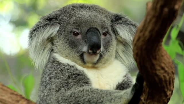 vídeos de stock e filmes b-roll de alerta coala. - prontidão