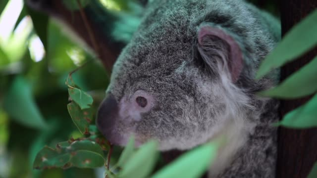 koala in the nature - bush stock videos & royalty-free footage