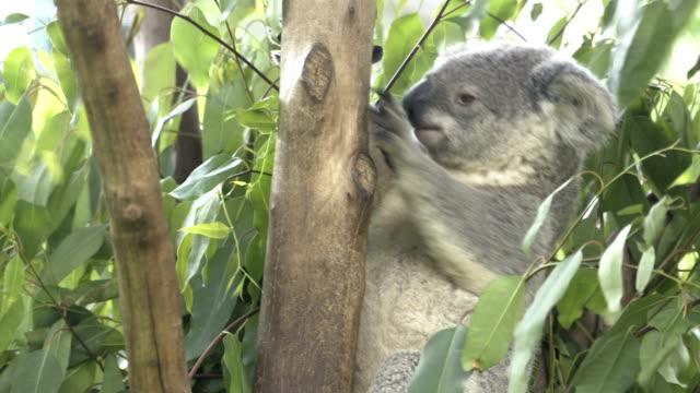 koala in tree - herbivorous stock videos & royalty-free footage