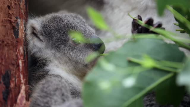 koala joey humphrey sits amongst eucalyptus at taronga zoo on march 02, 2021 in sydney, australia. eight-month-old humphrey is the first koala joey... - new age stock videos & royalty-free footage
