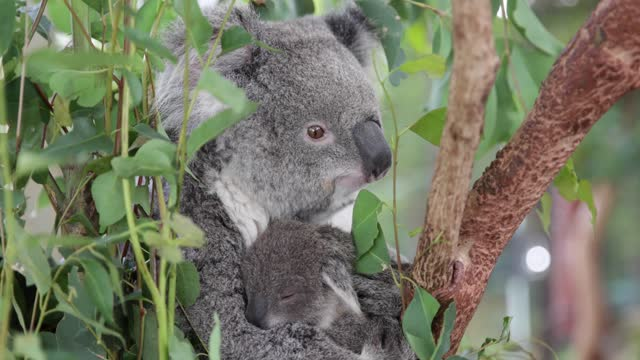 koala joey 'sapphire' is seen clinging to her mother 'scarlet' at wild life sydney zoo on september 29, 2020 in sydney, australia. the... - beuteltier stock-videos und b-roll-filmmaterial