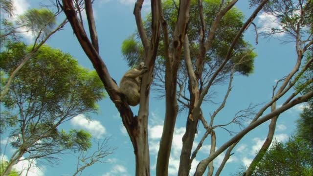 la, ms, koala (phascolarctos cinereus) on eucalyptus tree, australia - low angle view stock videos & royalty-free footage