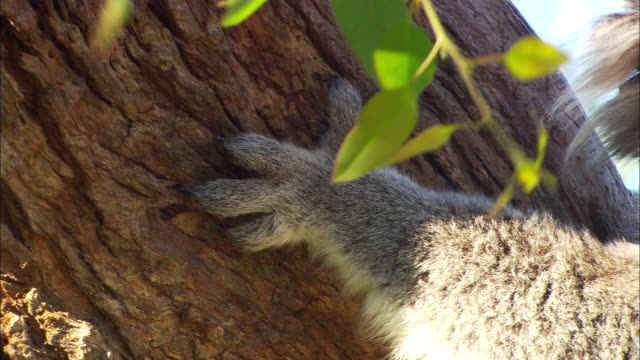 cu, pan, koala on tree, phillip island, victoria, australia - gripping stock videos and b-roll footage