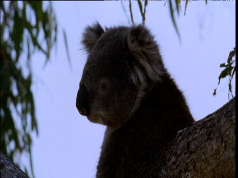 Koala peers down from gum tree, Australia