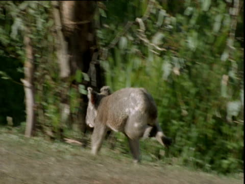 koala runs away over lawn and into trees, queensland - land stock videos and b-roll footage