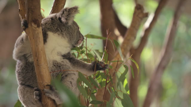 koala sits in tree and grabs eucalyptus leaves to eat - gripping stock videos and b-roll footage